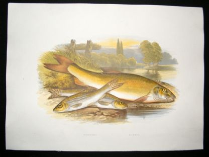 Houghton 1879 Folio Antique Fish Print Gudgeon, Barbel | Albion Prints